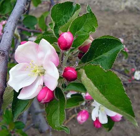 Assessing Frost And Freeze Damage To Flowers And Buds Of Fruit Trees Apple Blossom Flower Apple Flowers Apple Blossom