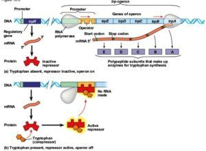 Regulation of tryp operon molecular biology pinterest regulation of tryp operon malvernweather Gallery