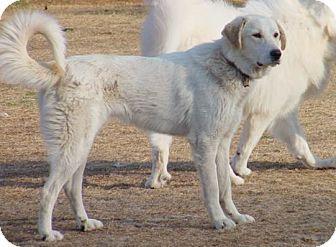 Akbash Pyrenees Mix Google Search Akbash Dog Akbash Catahoula Leopard Dog