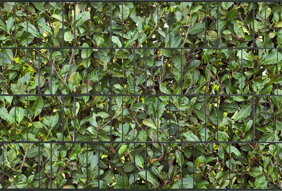 Zaundruck De kirschlorbeer - zaundruck.de | gärtnern | pinterest