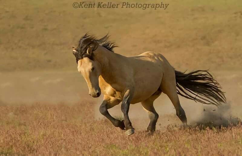 Gunsmoke, Great Basin Desert wild stallion. Photo by Kent Keller