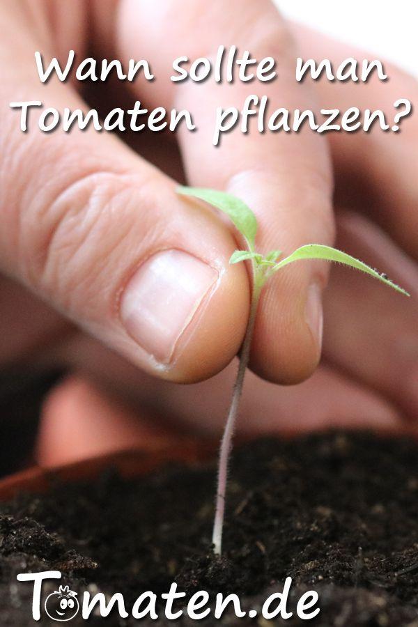 Wann ist die beste Pflanzzeit für Tomaten? #tomatenpflanzen