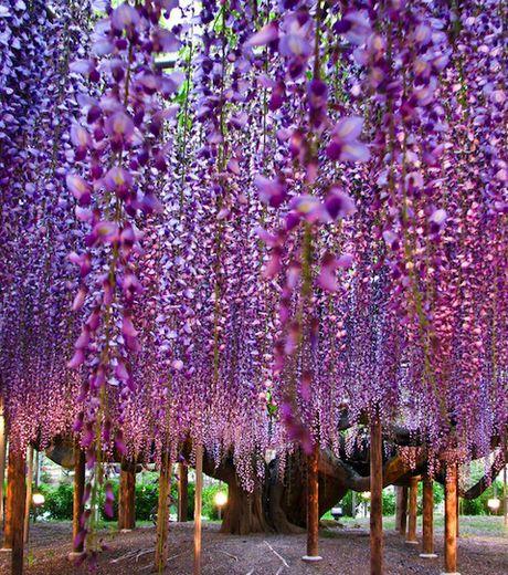 Superbe spécimen d\'arbre à glycine, celui-ci crée à chaque floraison ...