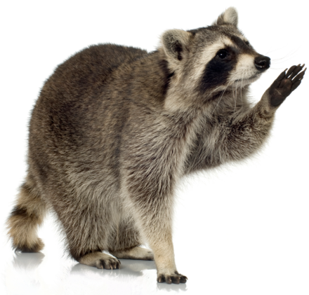 Raccoon Removal Best Pest Control Vancouver Animals Raccoon Procyon