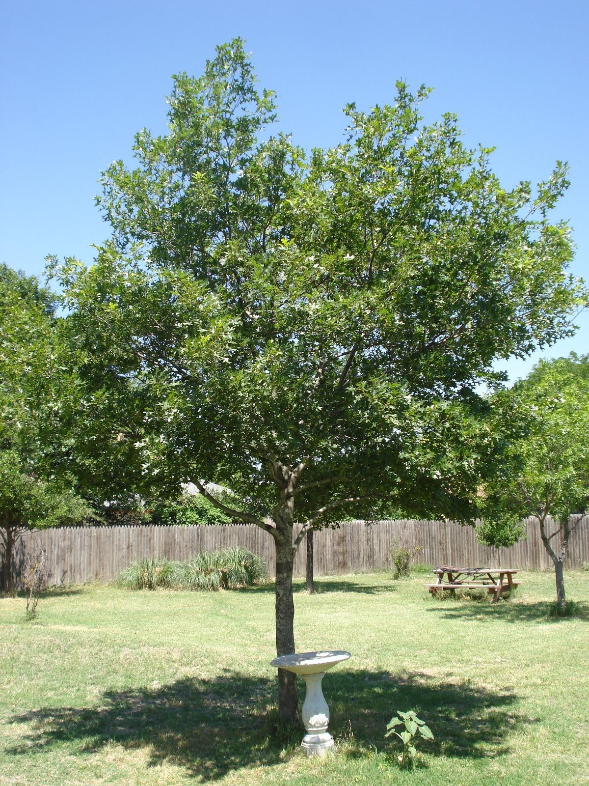 shumard oak - recommended for CO | Gardening | Pinterest | Yards and ...