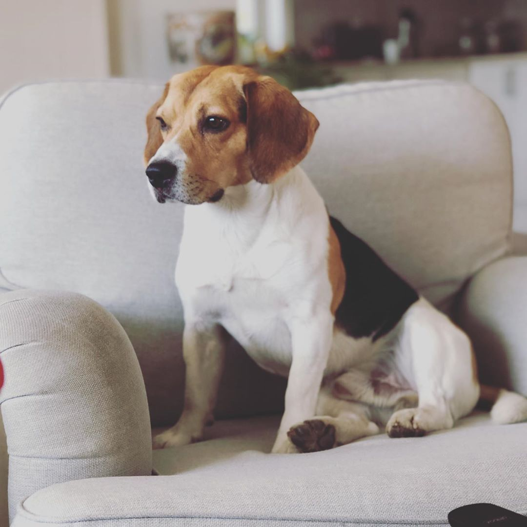 Waiting For Weekend Like Bonzo Beagle Family Happy Hike