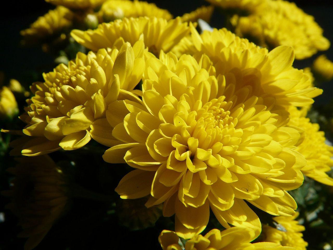 Winteraster juliane chrysanthemum x hortorum juliane buy cheap winteraster juliane chrysanthemum x hortorum juliane buy cheap online izmirmasajfo