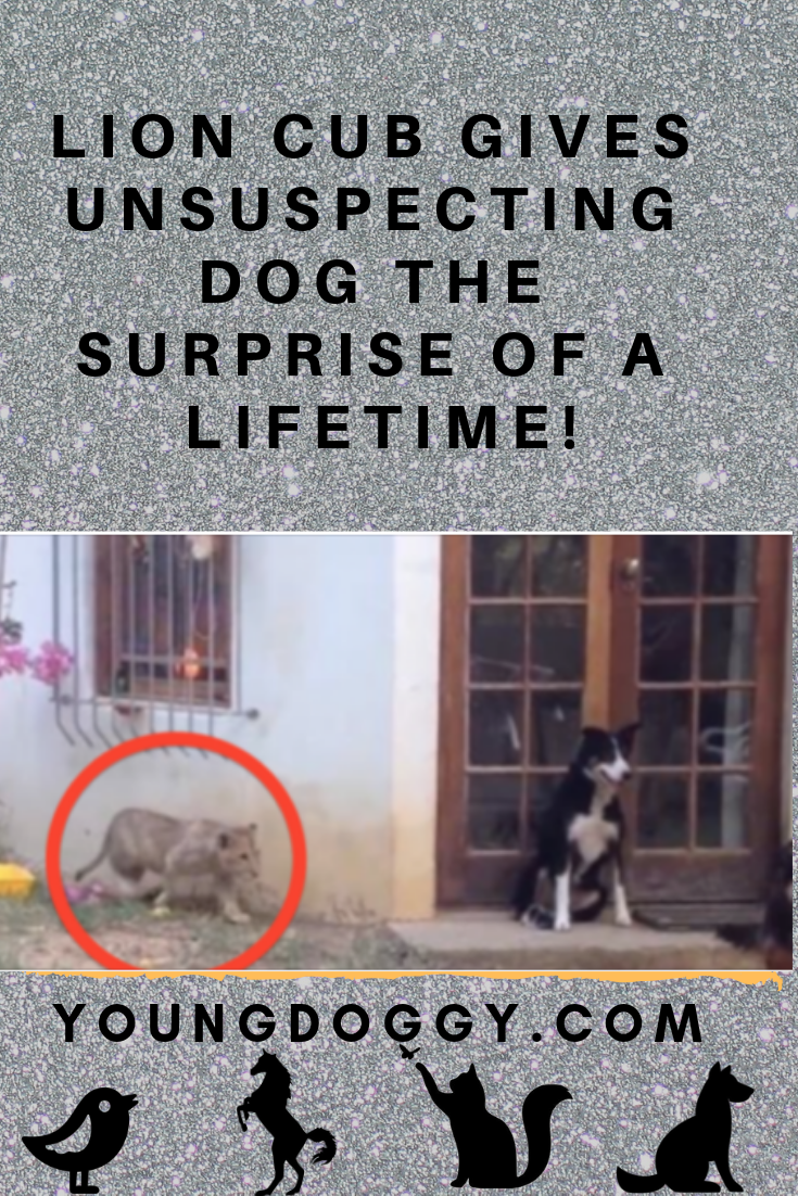 LION CUB GIVES UNSUSPECTING DOG THE SURPRISE OF A LIFETIME