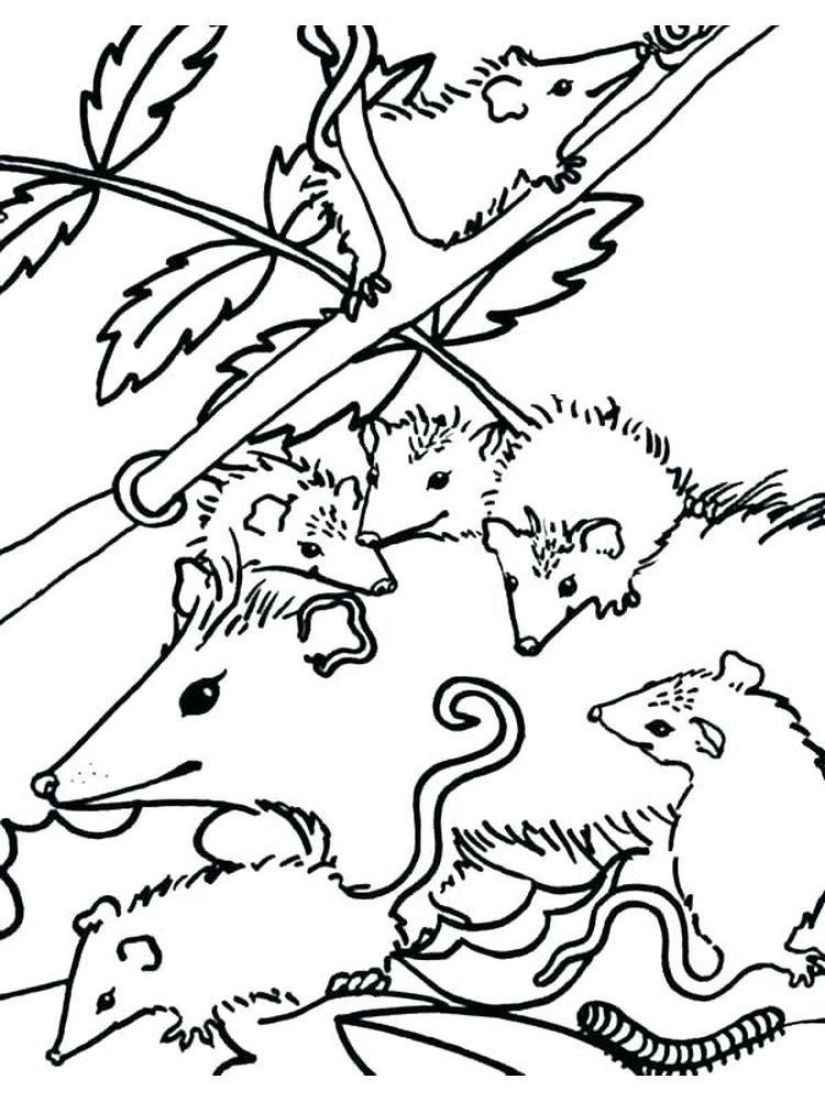 Possum Coloring Pages Pdf   Coloring pages, Animal ...