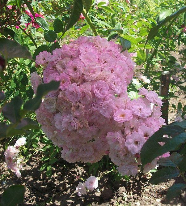Саженцы роз - Петит де Терра Франш