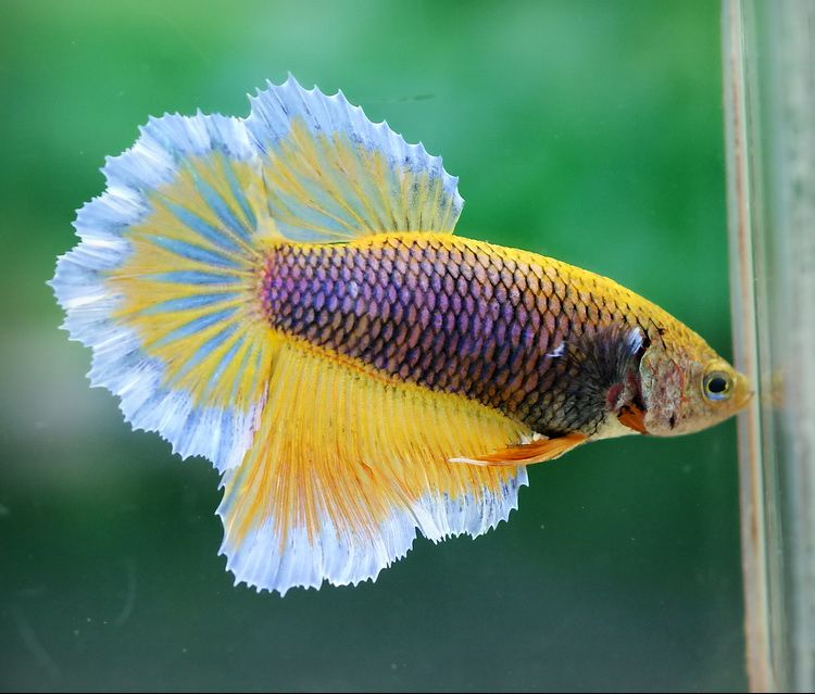 Purple gas female how does one obtain such a beautiful for Purple betta fish