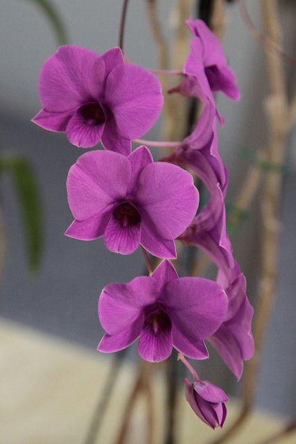 Dendrobium Bigibbum Kathleen Dendrobium Orchids Orchids Flowers