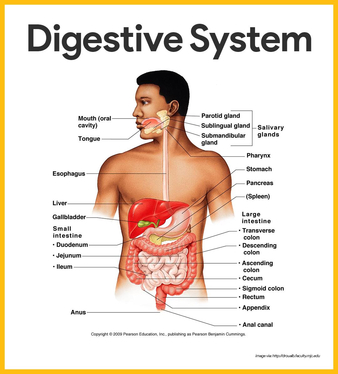 Digestive System Anatomy and Physiology | Anatomy, Respiratory ...