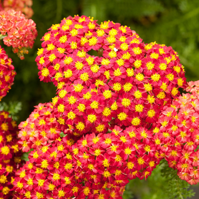 Achillea Desert Eve Red Desred Yarrow Dobbies Garden Centres Perennial Plants Cottage Garden Plants Plants