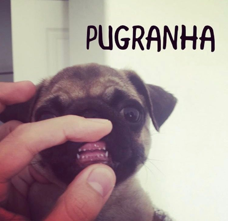 Tiny Sharp Pug Teeth Cute Pugs Pugs Funny Pugs