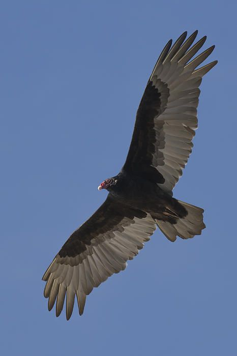 a turkey vulture