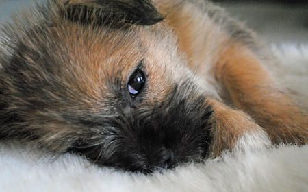 Teddy the Cairn Terrier Mix .... cute