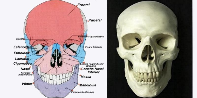 El tabique nasal, o septum, divide a la cavidad nasal en dos partes ...