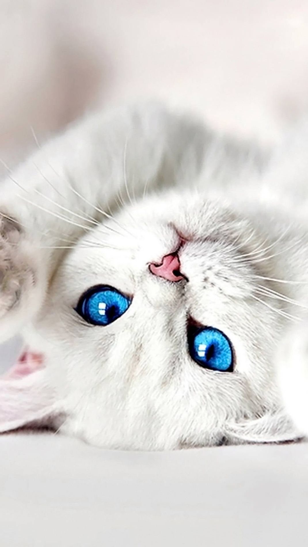 Lovey White Kitten Hd Wallpaper Download Hd In Link In 2020 Cute Cats Cute Cats And Kittens Beautiful Cats