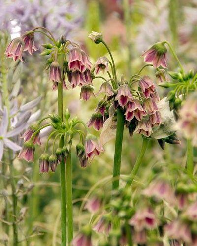 Allium Bulgaricum Summer Bells Garlic Flower Summer Flowering Bulbs Planting Bulbs