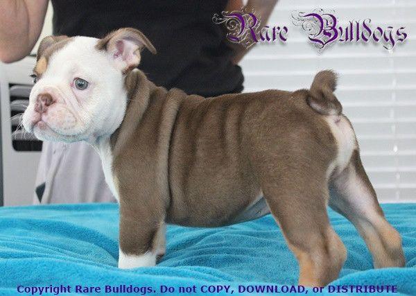 Akc English Bulldog Boy Dark Chocolate Tri Quad 6500 3200 Click