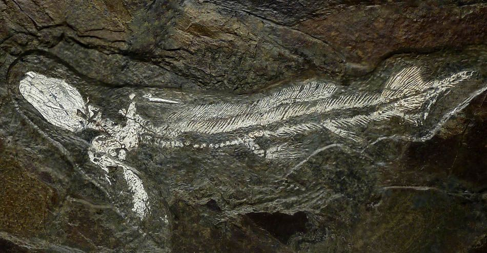 PREHISTORIC BABY ORTHACANTHUS SHARK IN RARE WHITE BONE  ON DARK COLORFUL ORIGINAL ROCK FROM THE PERMIAN PERIOD