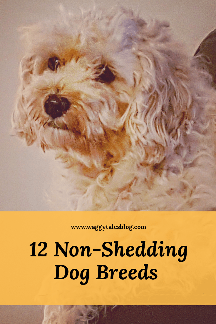 15 Low Shedding Dog Breeds- Hypoallergenic Breeds | Puppy