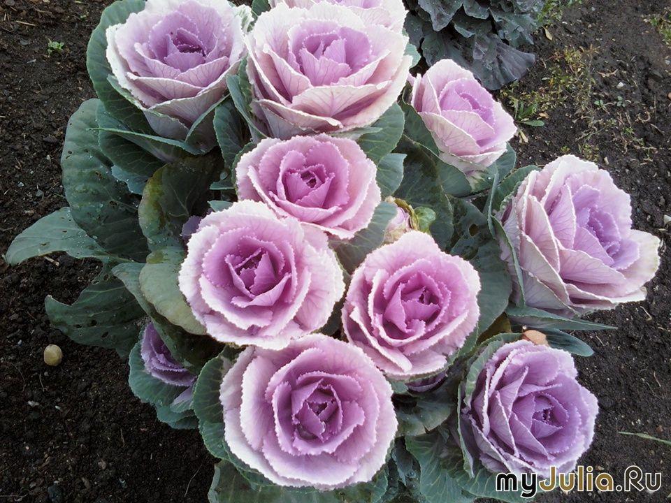 Кружевная декоративная капуста — 6 соток   Вьющиеся розы ...