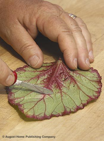 How to Propagate Rex Begonias from Leaf Cuttings