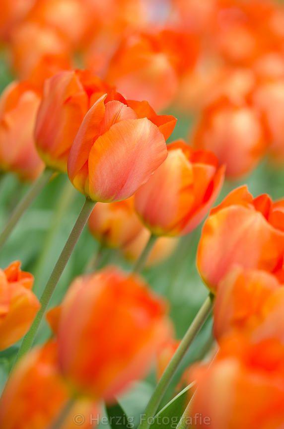 photo tulipa lighting sun tulpe tulpen by tina horst herzig