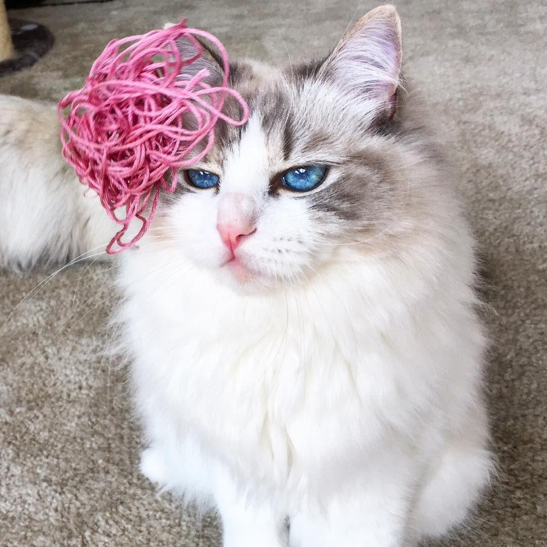 Nugget is a blue eyed Blue Lynx Bicolor Ragdoll