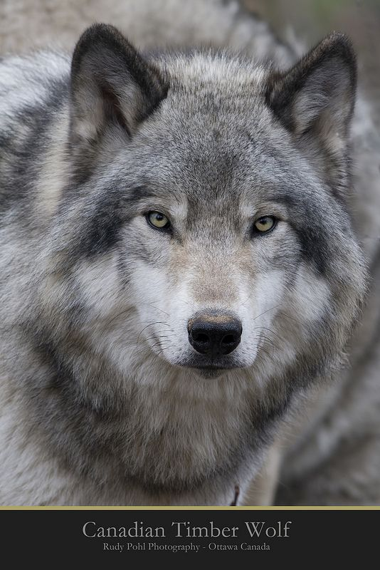 Canadian Timber Wolf                                                                                                                                                                                 More