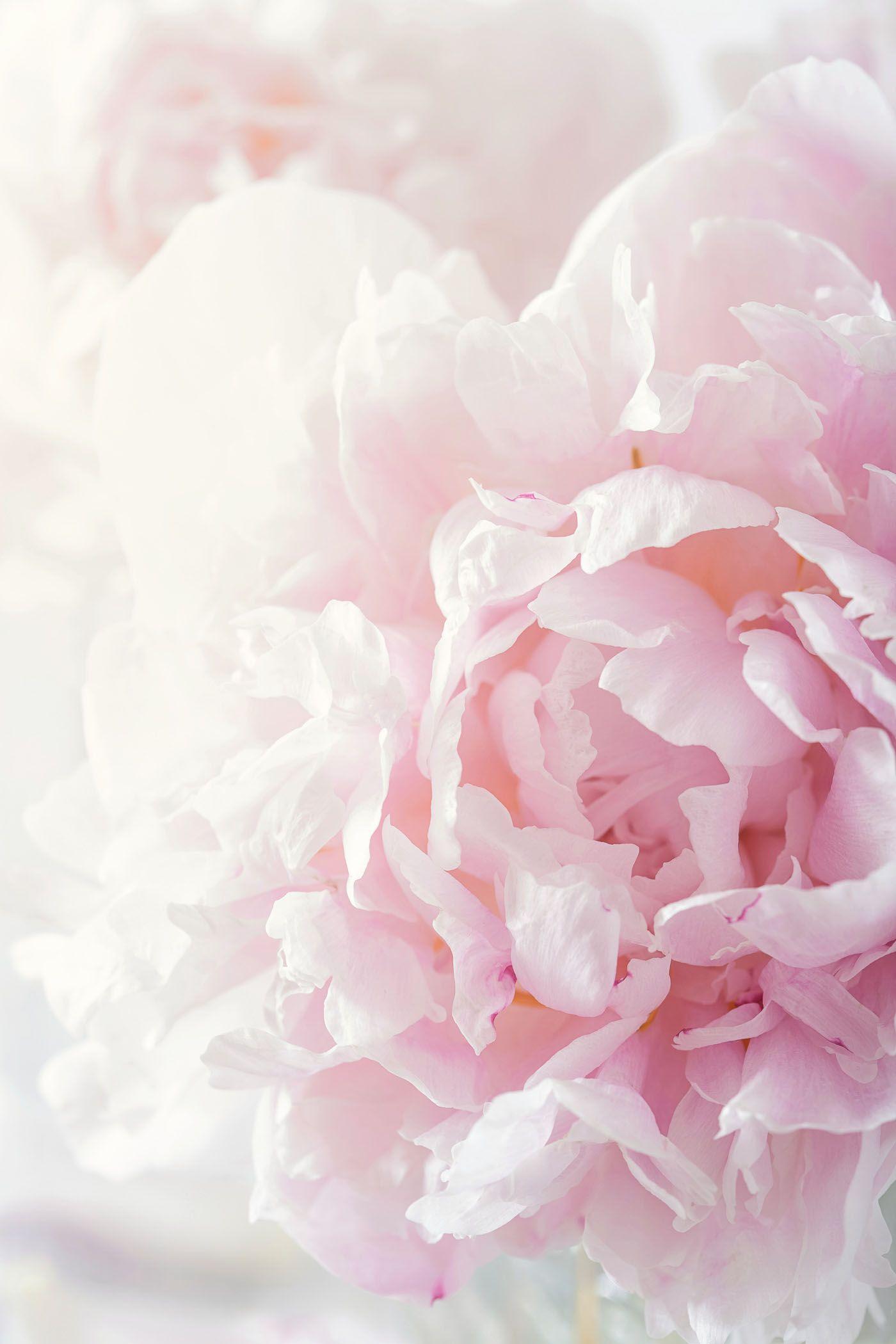 Pinterest Mer_Elise Peaony Розовые пионы, Розовые