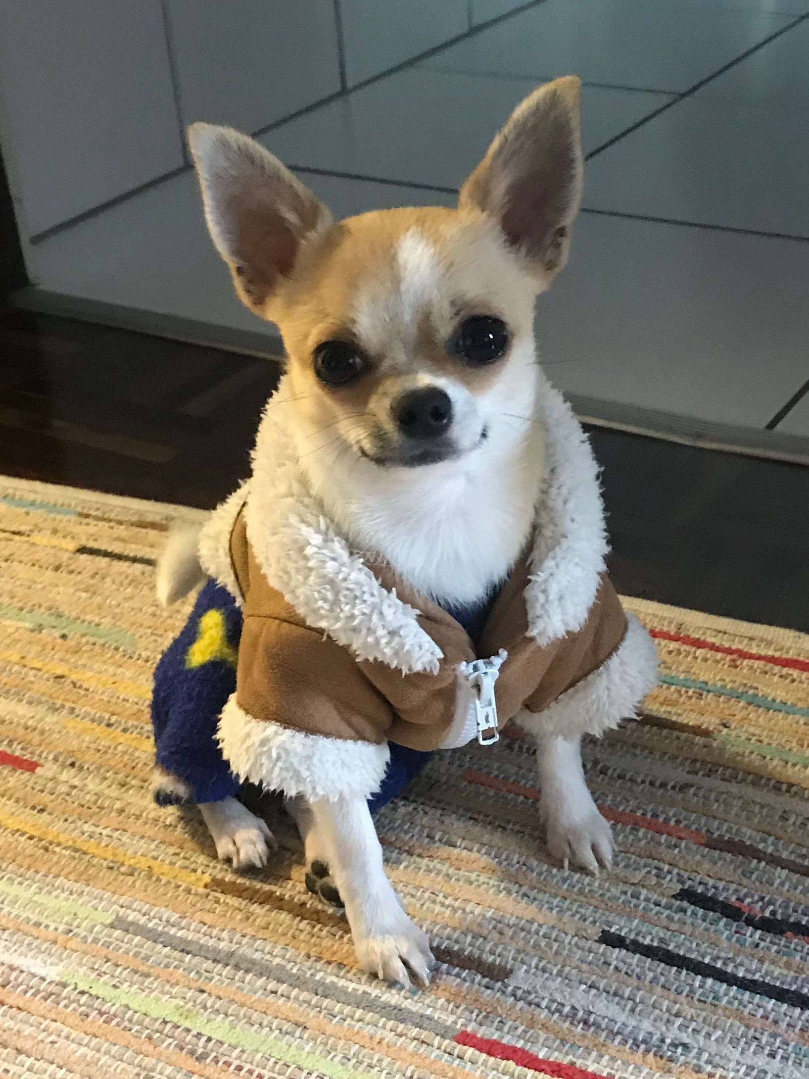 Cutie Pie Chihuahua Dogs And Puppies Funny Dog Pictures