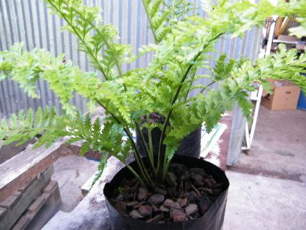 Pikopiko Fern   Fronds New Zealand, Suppliers Of Native New. Tree FernFront  EntrancesGarden ...