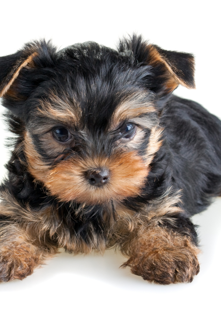Small Yorkshire Terrier Puppy On White Background Yorkshireterrier Yorkshire Terrier Puppies Yorkie Lovers Yorkshire Terrier