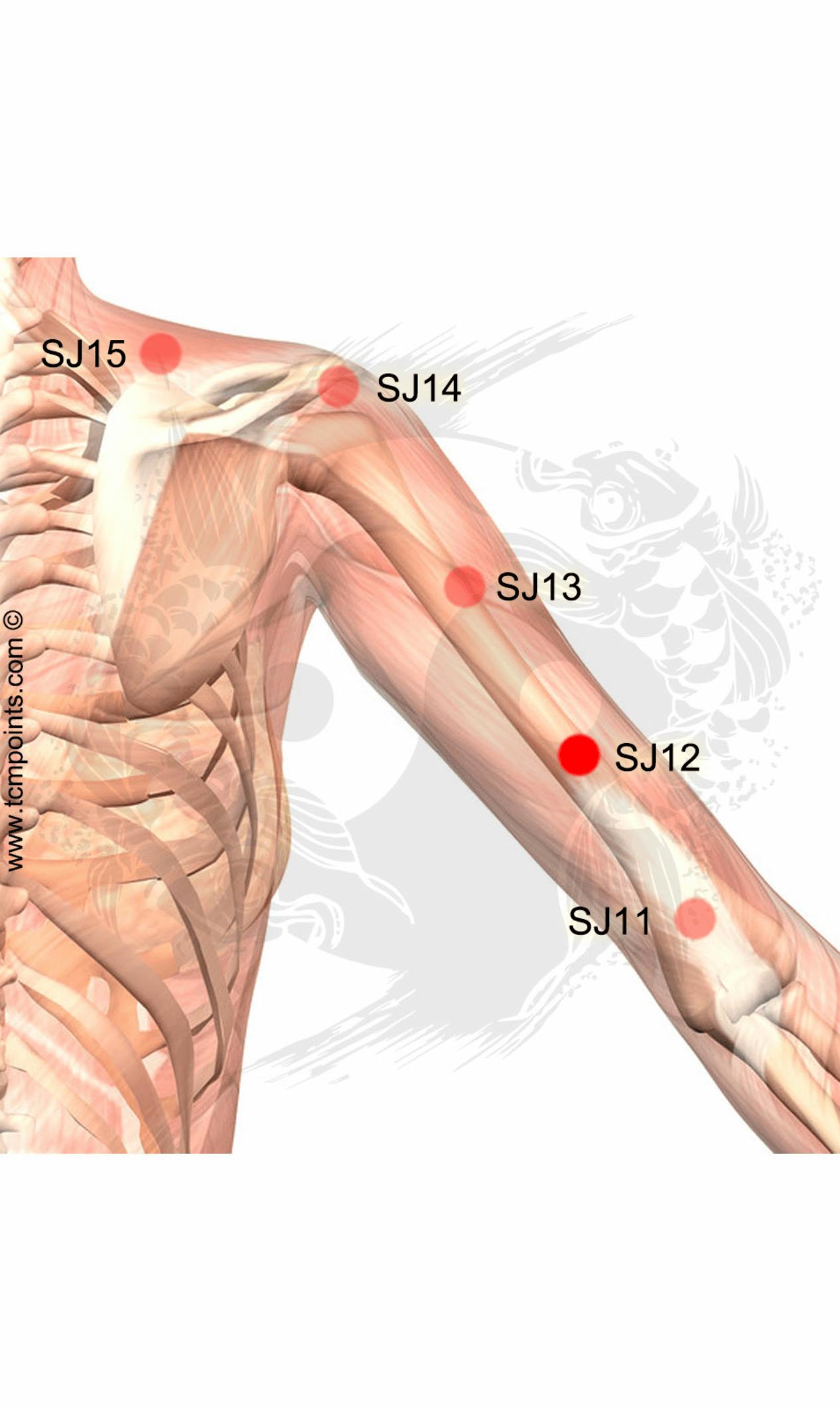 Hermosa Anatomía Interna Del Codo Patrón - Anatomía de Las ...
