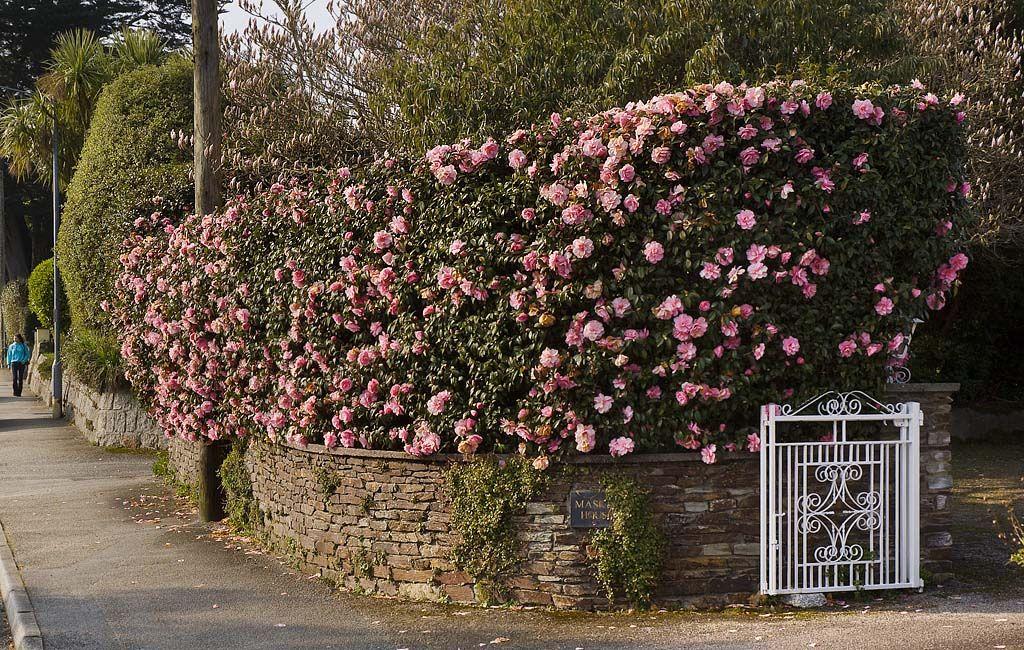 Camellia Hedge Falmouth Garden Hedges Rose Garden Landscape Woodland Garden