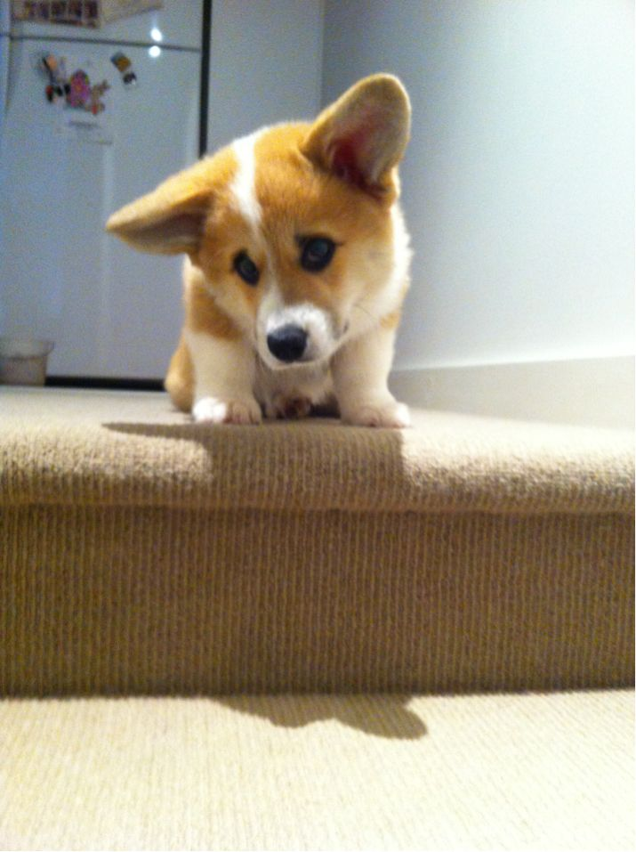 Corgiberry How Do I Get Down The Stairs Corgi Corgi Dog Puppies