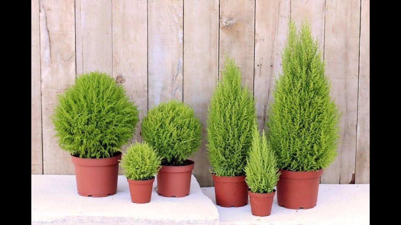 ТОП-10 лучших ХВОЙНЫХ растений для КОМНАТНОГО ЦВЕТОВОДСТВА ...
