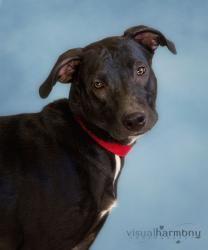 Adopt Dorothy On Black Labrador Retriever Love Pet Adoption