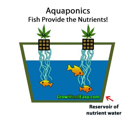 Growing cannabis with aquaponics plants get nutrients for How to grow hydro in a fish tank
