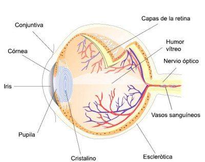 Psicobiología de los sentidos: la Vista | Anatomía y fisiología ...