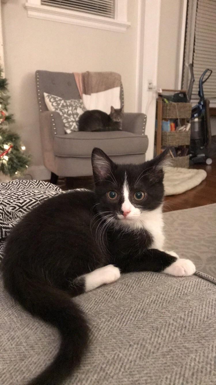 Sir Isaac Newton Is Loving His Furever Home Gatos Preto E Branco Gatos Brancos
