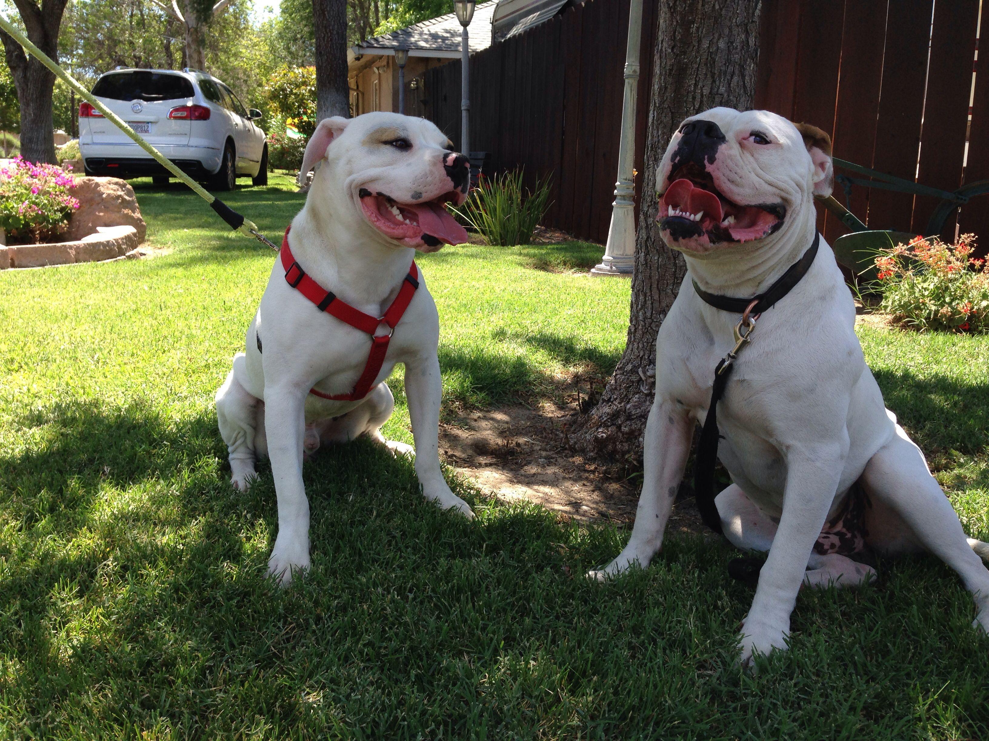 American bulldog Scott and Johnson American bulldog