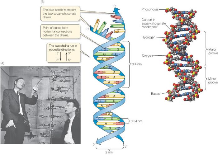 Discovery Of Dna Double Helix Watson And Crick Le Jolie