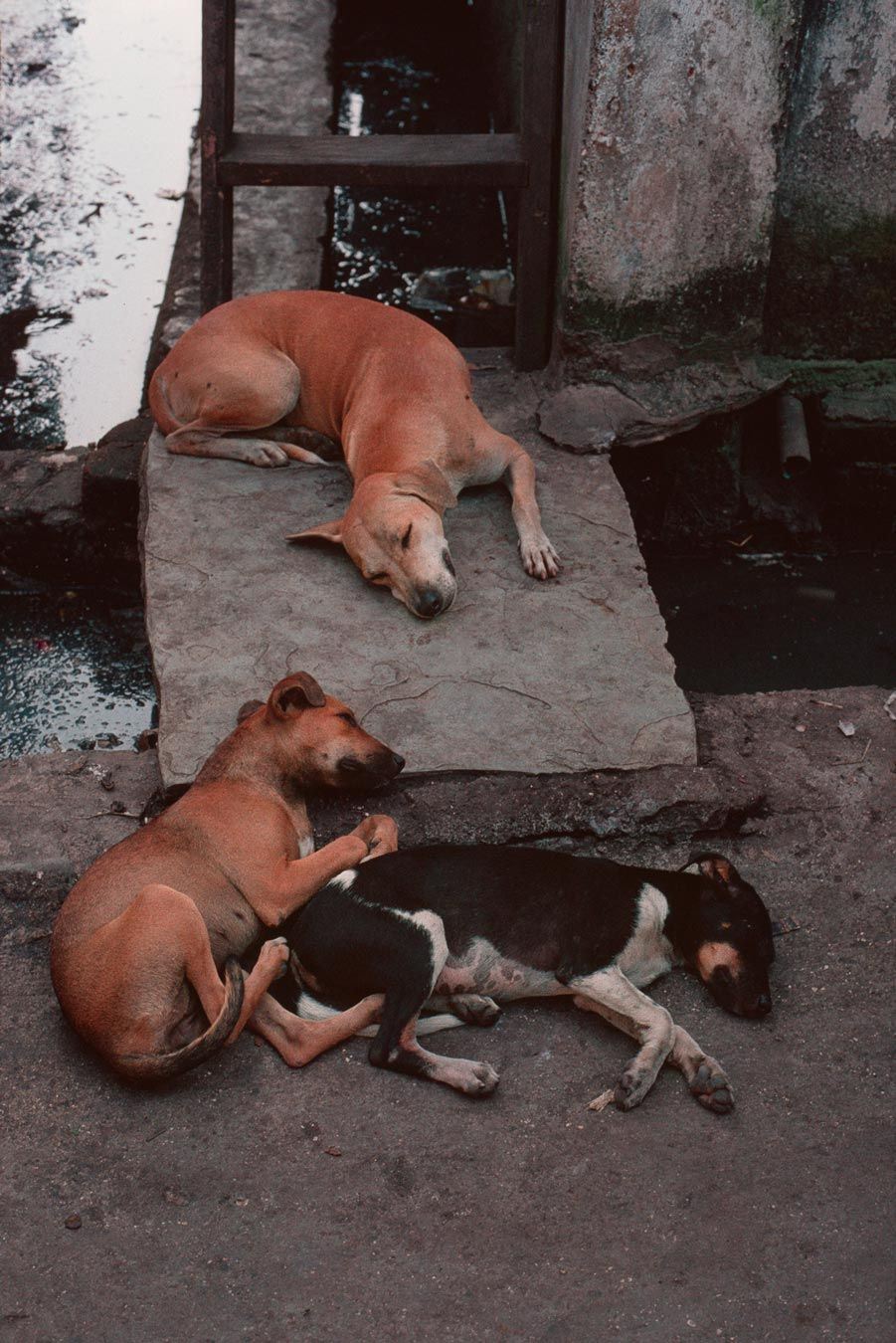 Sleep Steve Mccurry Bombay India Street Dogs Canine Art Steve Mccurry Portraits