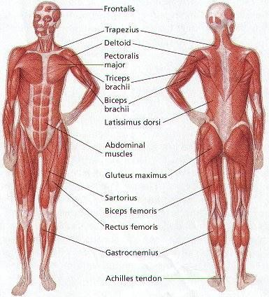 A fully labelled human body muscle diagram. | Fit and Healthy ...