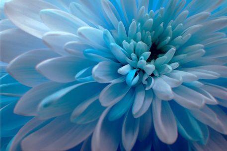 Blue Dahlia Flower Maurisca Henita Blue Dahlia Blue Dahlia Lotus Art Dahlia