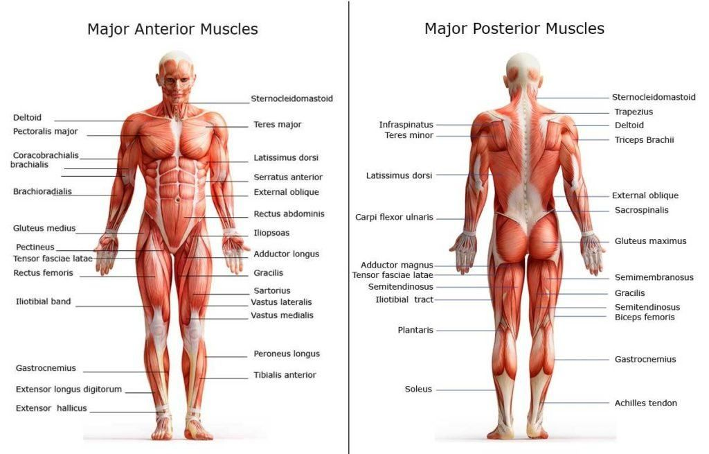 All Of The Major Muscle Groups On Both The Front And Back Of The